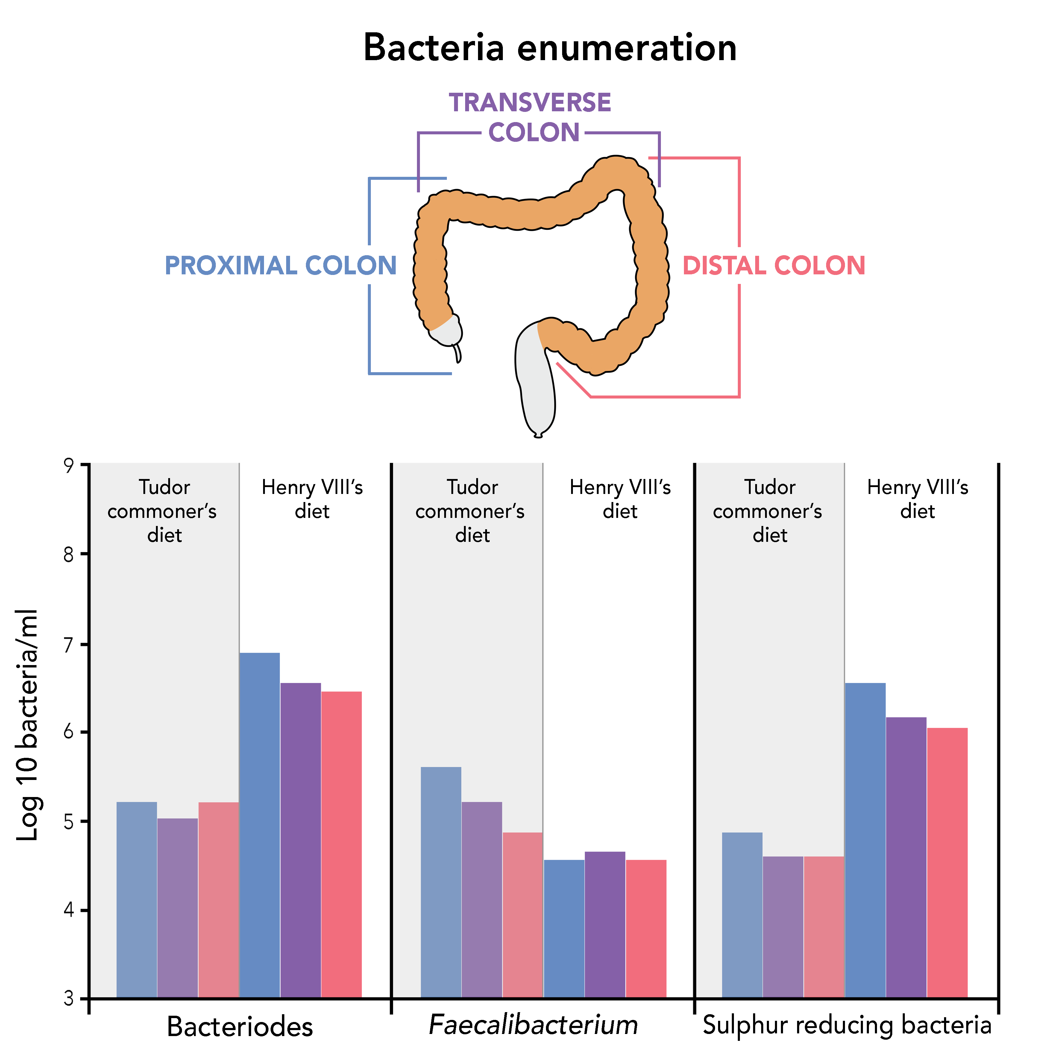 A graph displaying the difference in amount of Log 10 bacteria per millilitre of bacteriodes, faecalibacterium and sulphur reducing bacteria in the proximal colon, transverse colon and distal colon and how this differs between a Tudor commoner's diet and Henry VIII's diet. Henry VIII is shown to have much more bacteriodes and sulphur reducing bacteria and much less faecalibacterium than a Tudor commoners diet.