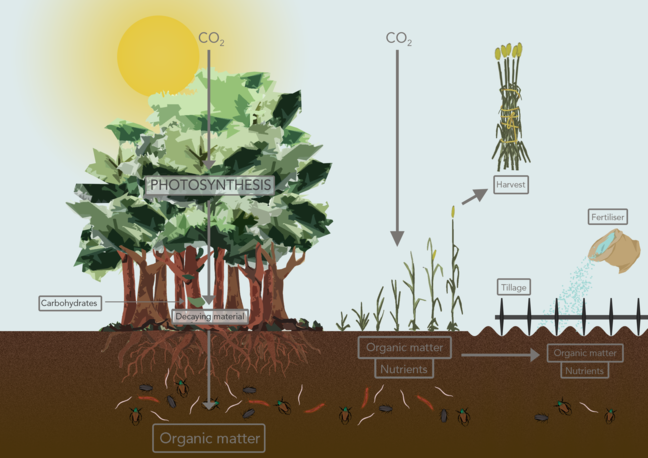 This image provides a summary of the information in the preceding paragraph. It shows plants growing in the soil in full leaf with roots extending down into the soil surrounded by decaying material, organic matter which provide nutrients. Above the soil the plant is exposed to sunlight and the diagram includes arrows to show the plant absorbing carbon dioxide from the atmosphere. It also shows plants being harvested and the ground being fertilised.