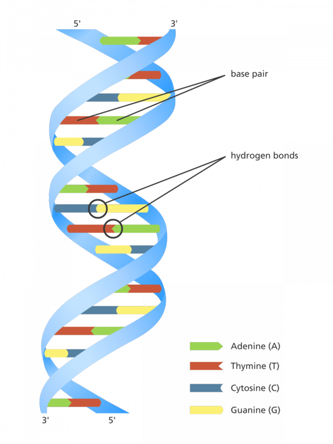 Image of Double Helix
