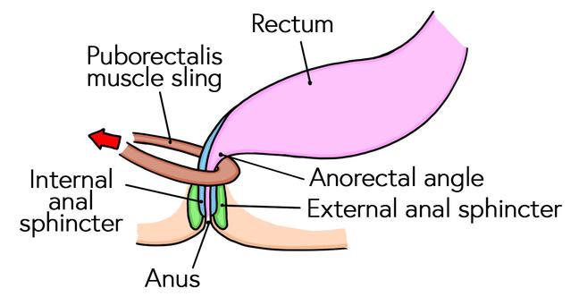 Anal sphincter mechanism when the rectum is empty