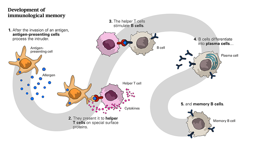 Illustration depicting how immunological memory is established. First, antigens are taken up by dendritic cells. The antigens presented by dendritic cells are then recognized by T cells, which, upon their activation, become so-called helper T cells. Meanwhile, B cells pick up the antigen and process it. Once processed, the antigen is presented on the surface of the B cell. The helper T cells bind to the antigen and then release cytokines that stimulate the B cells. Once stimulated, B cells undergo proliferation and differentiation in antibody-producing plasma cells and memory B cells. The memory B cells remain in the immune organs and elicit a new immune reaction at a subsequent allergen exposure.