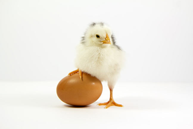 a baby chicken standing with one foot resting on an egg, decorative only