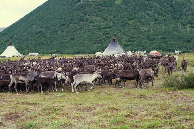 A photograph of a herd of reindeer, with yurts and conical tents in the background
