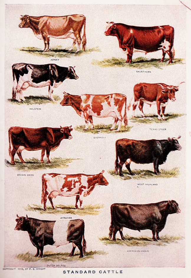 Vintage poster showing 10 breeds of cattle ranging in colouring from white, through brown and black and displaying different body shapes.