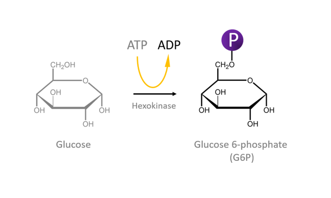 The enzyme Hexokinase uses ATP to convert glucose to glucose 6 phosphate. The figure also shows ATP being hydrolysed to ADP