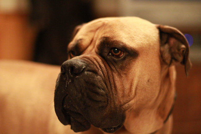 Image of a bullmastiff.
