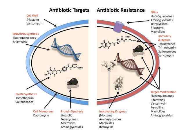 Diagram reads clockwise. Antibiotic resistance. Efflux: Flouroquinolones, Aminoglycosides, Tetracyclines, -lactams, Macrolides. Immunity and bypass: Tetracyclines, Trimethoprim, Sulfanomides, Vancommycin. Target modification: Fluoroquinolones, Rifamycins, Vancomycin, Penicillins, Macrolides, Aminoglycosides. Inactivating Enzymes: -lactams, Aminoglycosides, Macrolides, Rifamycins. Antibiotic Targets. Protein synthesis: Linezolid, Tetracyclineesm, Macroslidesm, Aminoglycosides. Cell membrane: Daptomycin. Folate synthesis: Trimethoprim, Sulfonamides. DNA/RNA Synthesis Fluroquinolones, Rifamycims. Cell wall: -lactams, Vancomycin