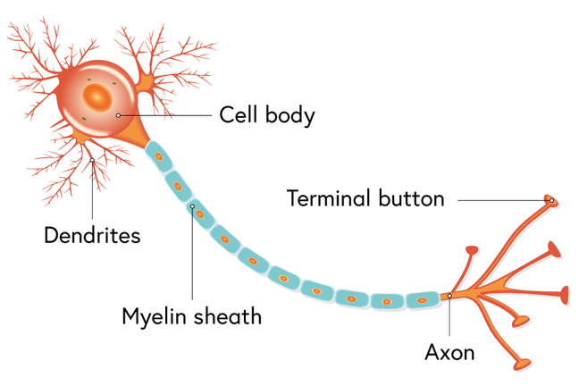 A nerve cell
