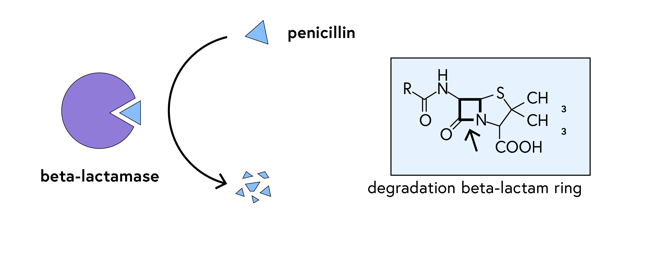Schematic of a beta-lactamase enzyme degrading penicillin into fragments; chemical structure of penicillin with the beta-lactam ring highlighted