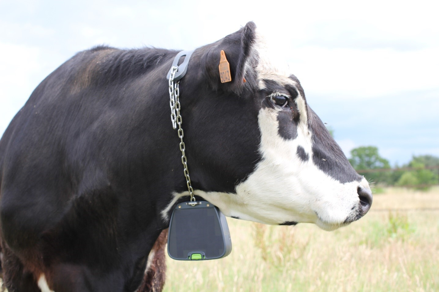 Figure 4 - The virtual fencing collar for cattle (by Nofence) mounted on a Black Baldy cow. The solar panels at the side of the collar are clearly visible