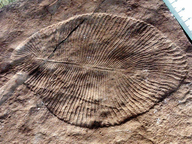 Fossil of an Ediacaran organism, that is almost circular with a quilted appearance