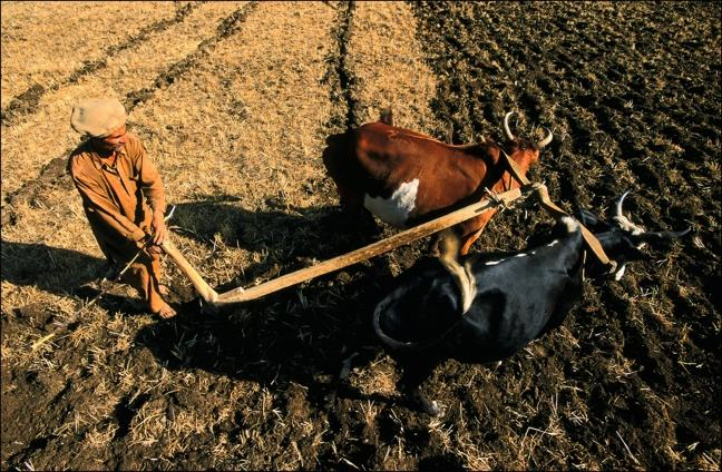 Photograph of Kalash Plow. In Pakistan in 2001, harvests are done with a plow pulled by bulls