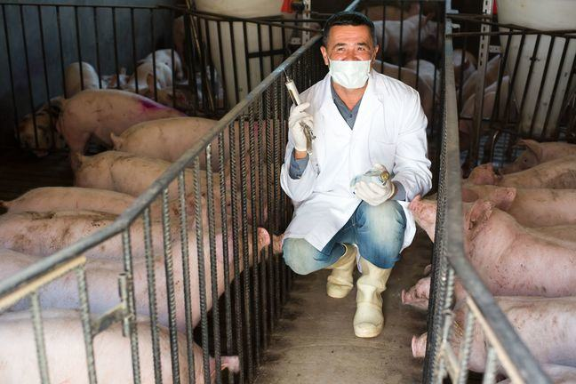 A photo of a vet with a syringe, crouching between two pens pf pigs
