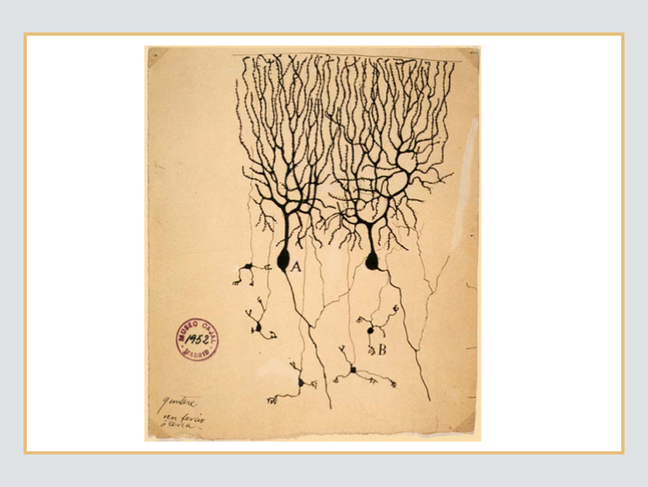 Neurons drawn by Santiago Ramon y Cajal late 19th to early 20th Century