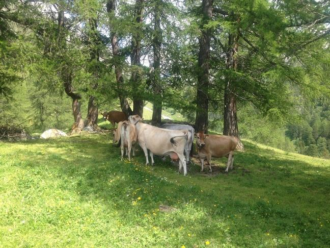 A herd of cows standing in the shade under some trees on a sunny day