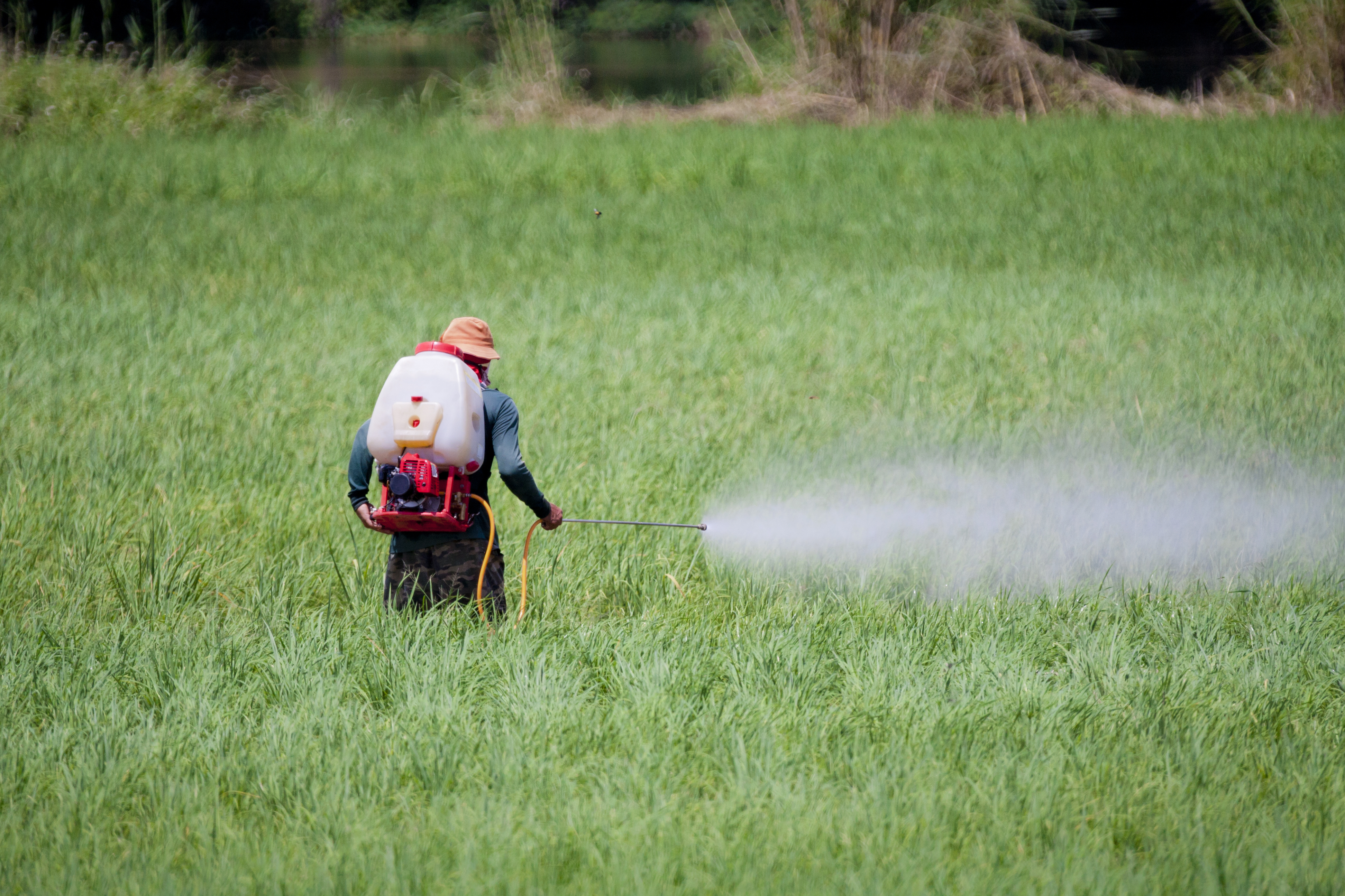 Manual spraying of pesticides in a rice field.