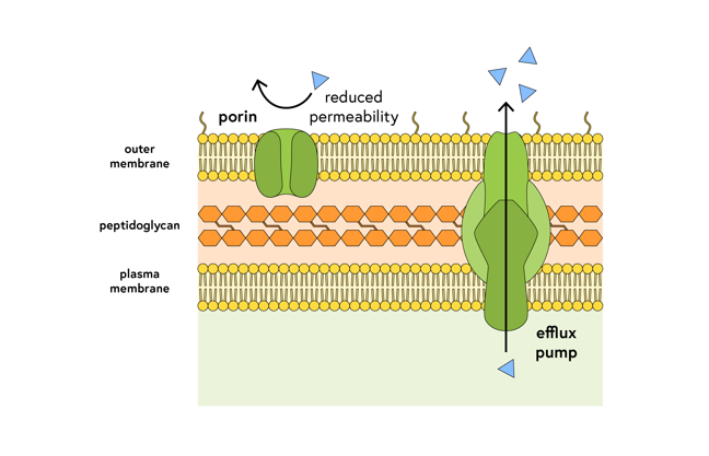 Outer membrane, peptidoglycan cell wall, and plasma membrane. A porin channel sits in the outer membrane, and an antibiotic bounces away from the channel labelled reduced permeability. A large multi-subunit efflux pump crosses all three layers and an arrow shows the antibiotic being removed from the cell