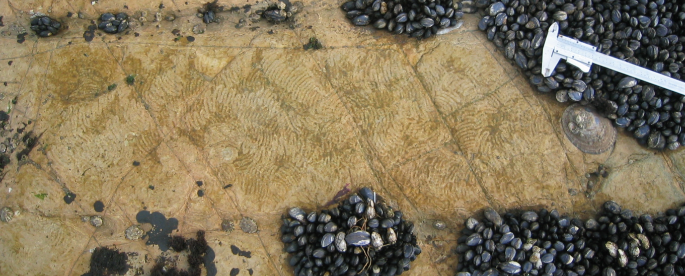 A top down view of a limpet shell surrounded by characteristic zig-zag feeding marks in the algae around it.