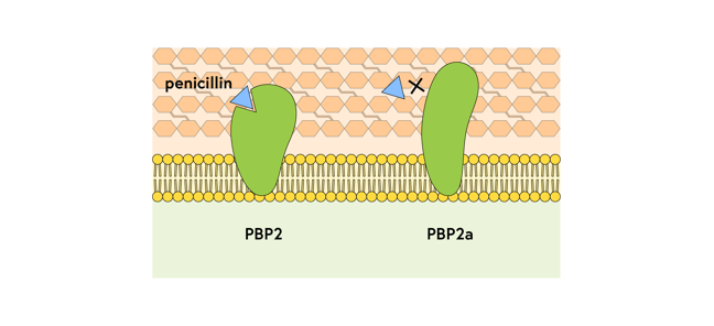 PBP and PBP2a against a background of the bacterial cell membrane and cell wall; Penicillin fits into a groove on normal PBP but PBP2a has an elongated shape with no groove