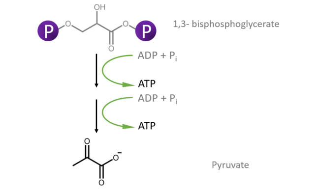This figure shows production of ATP as a result of transfer of phosphate from 1,3 bisphosphoglycerate to ADP