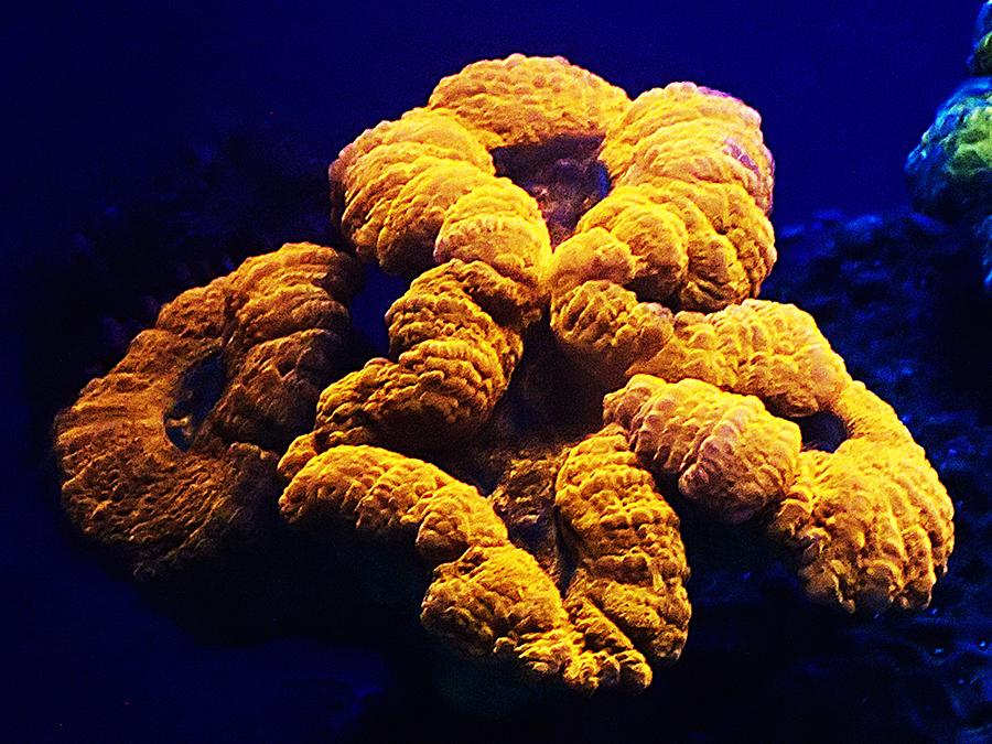 A brain coral *Lobophyllia hemprichii* showing orange fluorescence when it is illuminated with blue light.