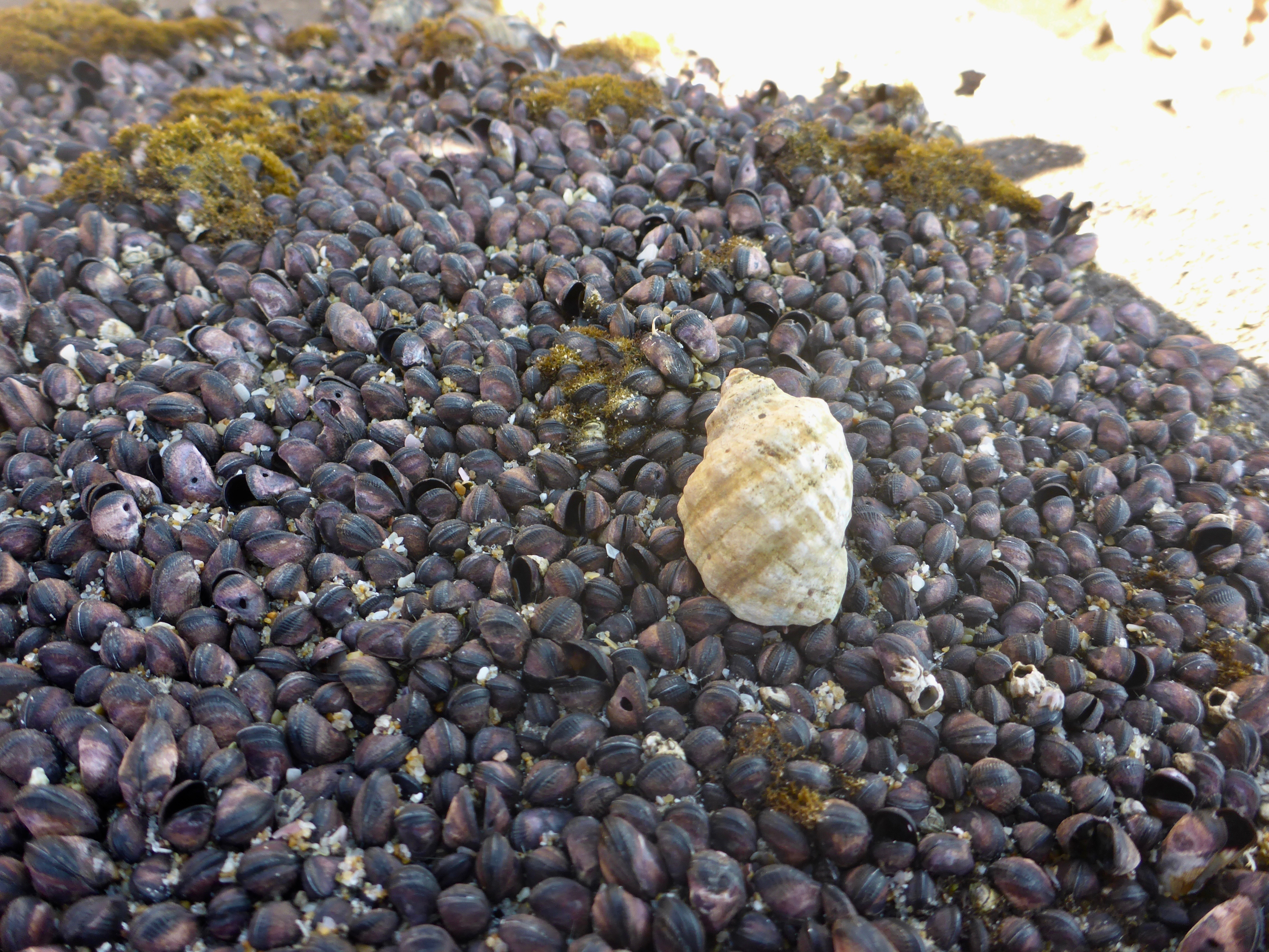 A large snail shell resting on hundreds of mussell shells, some of which have small round holes in their shell.