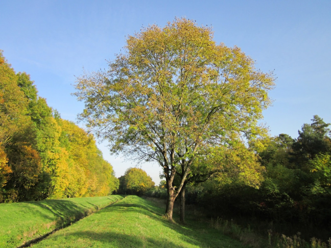 Photo of an ash tree in a field