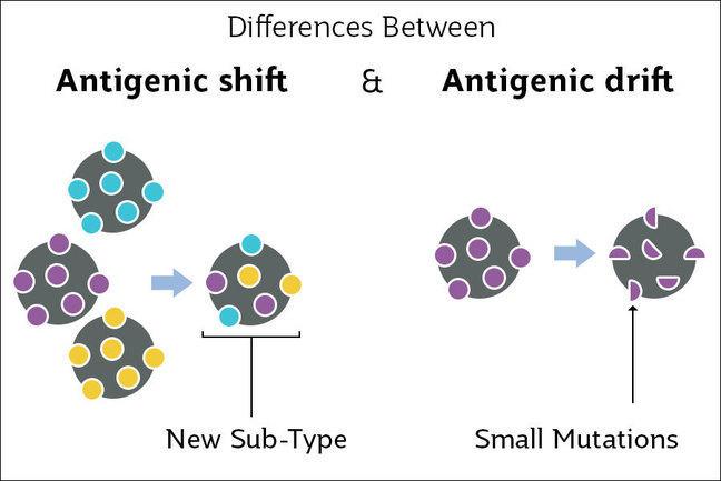 Antigenic drift and antigenic shift