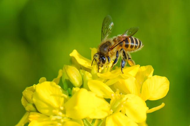 A honeybee pollinating a yellow flower