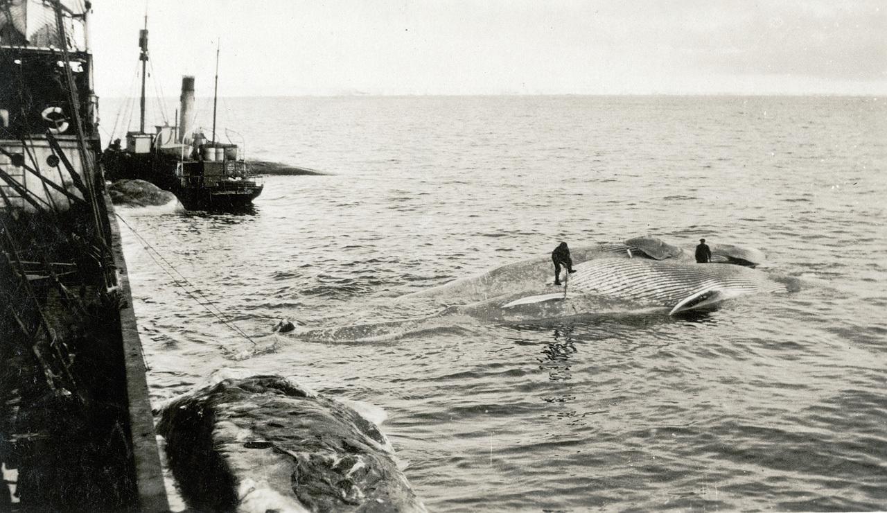 Two men working on a dead whale alongside Sir James Clark Ross (1905)