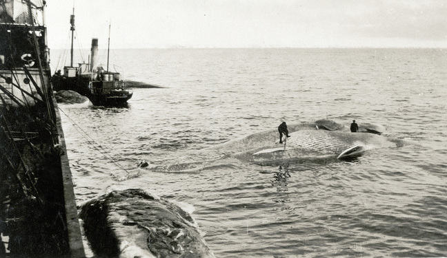 Two men working on a dead whale alongside Sir James Clark Ross (1905)