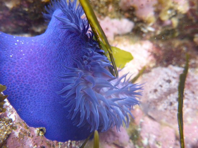 An underwater close up of a blue or purple coloured sea anenome.