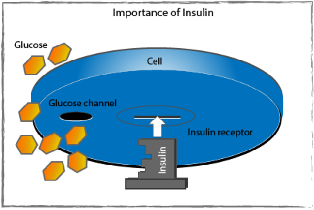 Insulin as the 'key' being inserted into an imagined slot in a cell.