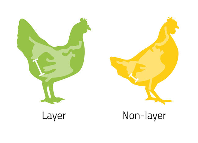 Two illustrations of hens side by side, layer hen on the left and non-layer on the right