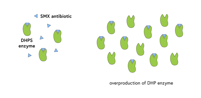Normal scenario: SMX antibiotic fits into the grooves of three DHPS enzymes, with some excess SMX; Overproduction: a dozen DHPS enzymes, only some of which bind SMX leaving some free