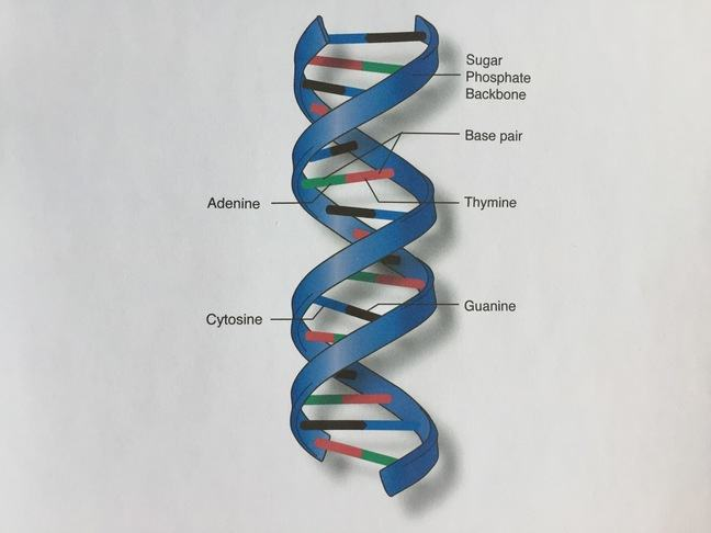 Diagram of DNA