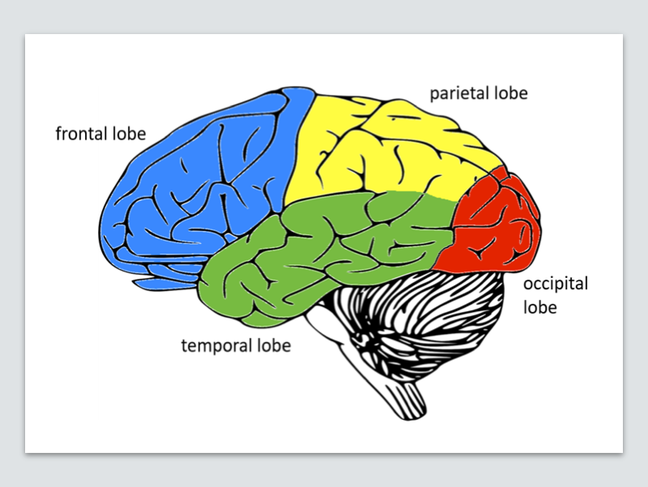 Picture of brain's 4 lobes