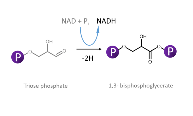This figure shows oxidation and phosphorylation of Triose Phosphate. It also shows reduction of NAD to NADH in the process