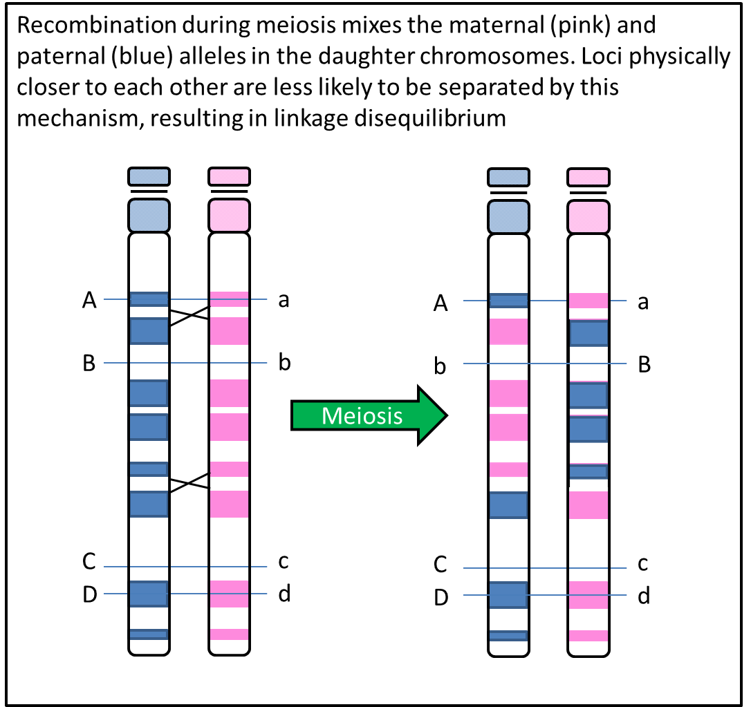 Recombination during meiosis mixes the maternal (pink) and paternal (blue) alleles in the daughter chromosomes. Loci physically closer to each other are less likely to be separated by this mechanism, resulting in linkage disequilibrium.