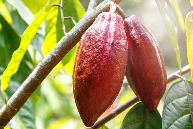 A photograph of two cocoa pods hanging from a branch