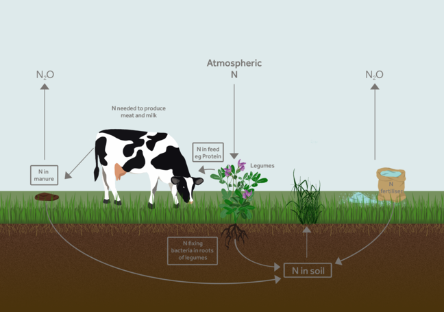 Infographic detailing the nitrogen cycle. It shows nitrogen in soil and the atmosphere being absorbed by grass and plants which are eaten by a cow. Nitrogen is then passed on in the cow's manure which is then absorbed by the soil.