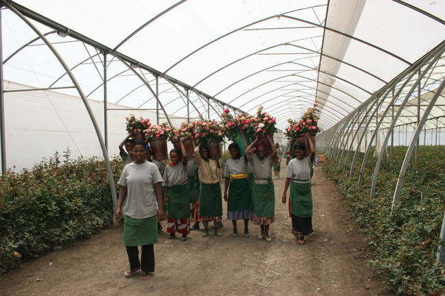 Green house workers carrying buckets of flowers on their heads