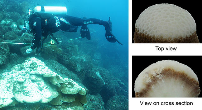 A partially bleached colony of a *Porites* corals from the Galapagos Islands (left photo). The upper parts of the partially bleached colonies look white from outside (upper right photo). However, the brownish colour of deeper tissue layers shown in the cross-section of a coral fragment reveals that live symbionts are still present deep inside the bleached colony parts (lower right photo).