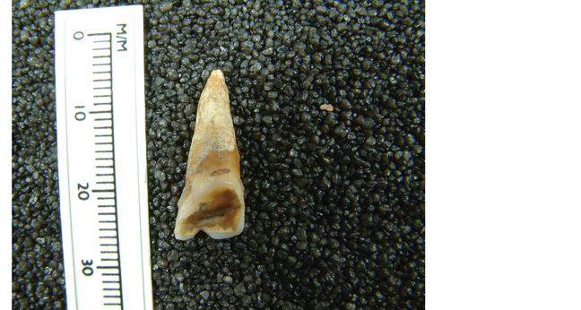 Photograph showing a V-shaped notch in the incisor of Skeleton 28