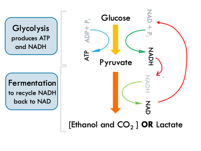 This figure shows glucose fermentation. It shows the first stage which is glycolysis and results in production of pyruvate. Pyruvate is then converted to ethanol and CO2 during fermentation step. It also shows that during glycolysis, NAD is reduced to NADH, however, during fermentation, NADH is oxidised and converted back to NAD, which can be fed back into glycolysis to keep it going.