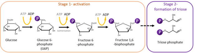 This figure shows a summary of Stages 1 and 2 of glycolysis. The Stage 1 involves conversion of glucose to glucose-6 phosphate, followed by isomerisation of glucose-6 phosphate to fructose-6 phosphate and production of fructose 1,6-bisphosphate. Stage 1 is then followed by Stage 2 during which two molecules of triose phosphate are produced