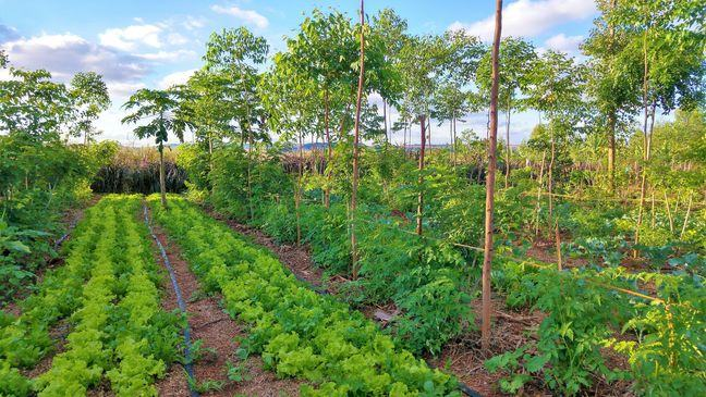 A photo of a small allotment plot, with short rows of a variety of plants and small trees