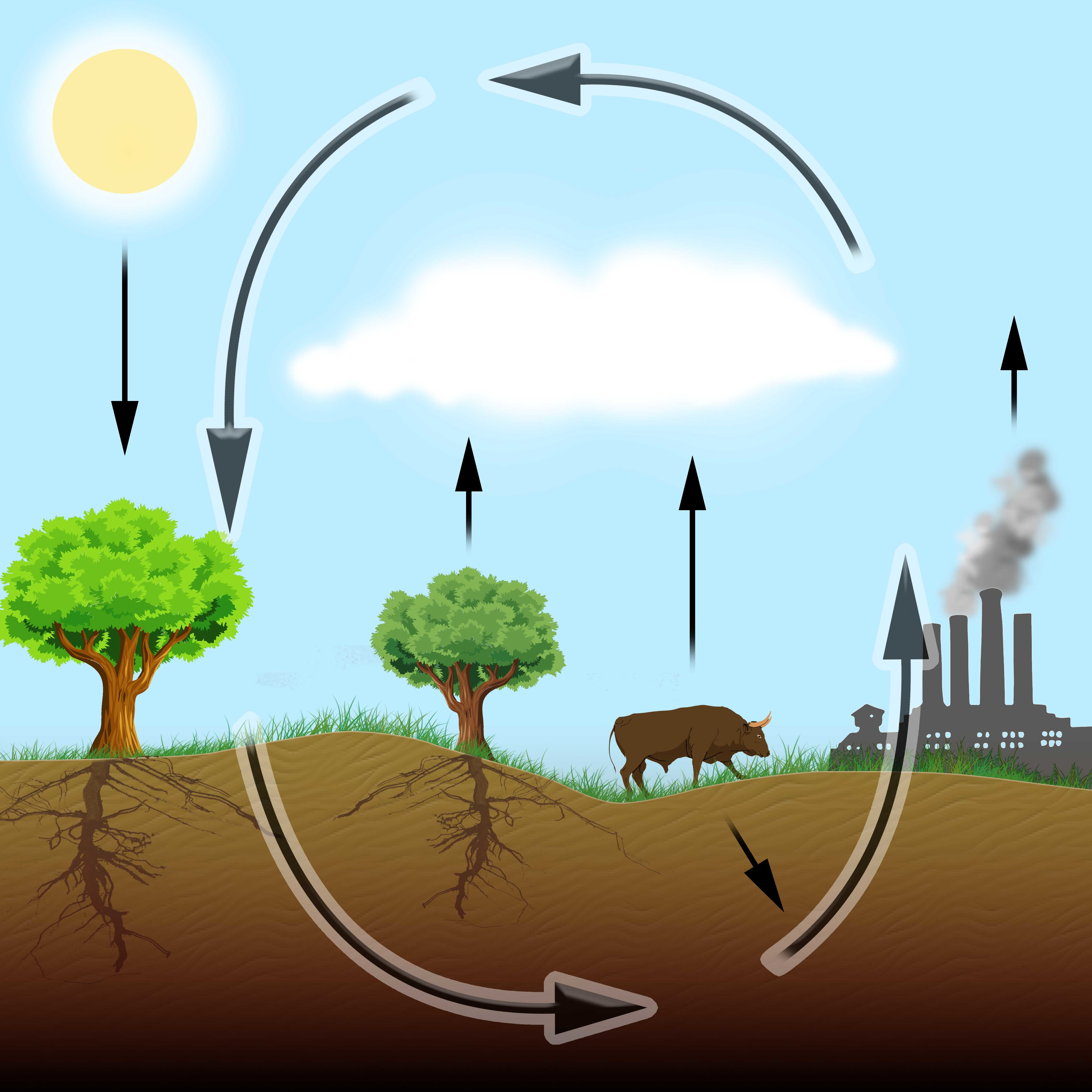 The carbon cycle showing carbon dioxide is produced by plants and animals, including humans, through respiration, and also released by combustion