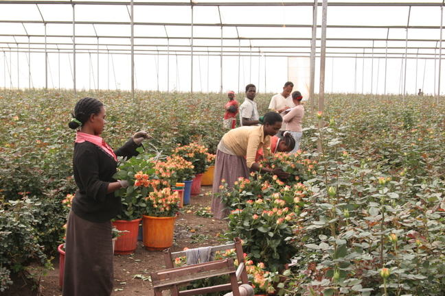 Inside a green house, workers are collecting roses