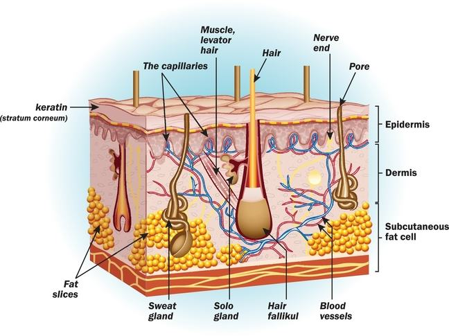 Drawing of the layers of the skin